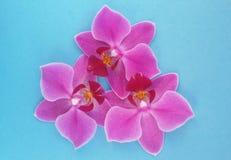Flores da orquídea sobre o fundo azul Flor bonita Sobre o azul fotografia de stock
