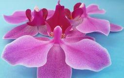 Flores da orquídea sobre o fundo azul Flor bonita Sobre o azul imagem de stock royalty free
