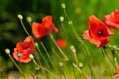 Flores da papoila Foto de Stock Royalty Free
