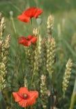 Flores da papoila Imagens de Stock Royalty Free