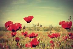 Flores da papoila Imagens de Stock