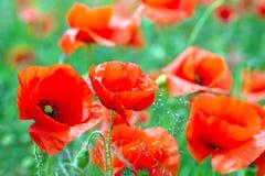 Flores da papoila da flor Imagens de Stock Royalty Free