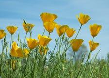 Flores da papoila de Califórnia em um campo Fotografia de Stock Royalty Free