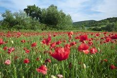Flores da papoila de campo Foto de Stock