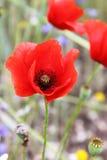 Flores da papoila de milho Fotos de Stock