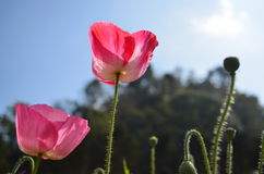 flores da papoila de milho sob o céu Fotografia de Stock