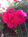 Flores da papoila de Rossy!!! Fotos de Stock Royalty Free