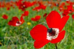 Flores da papoila do Anemone Imagens de Stock