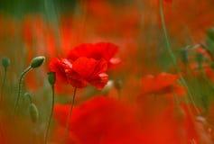 Flores da papoila do milho fotos de stock royalty free