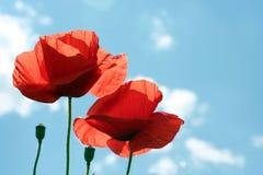 Flores da papoila no céu Fotos de Stock Royalty Free