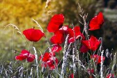 Flores da papoila no esclarecimento Fotografia de Stock Royalty Free
