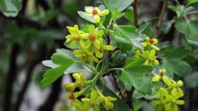 Flores da passa de Corinto preta vídeos de arquivo