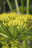 Flores da pastinaga Foto de Stock Royalty Free