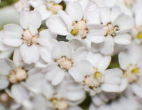 Flores da pastinaga de vaca Fotos de Stock Royalty Free