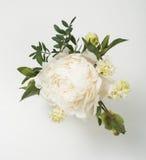 Flores da peônia no close up branco do fundo Foto de Stock Royalty Free