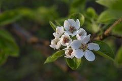 Flores da pera imagem de stock royalty free