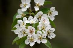 Flores da pera Imagens de Stock Royalty Free