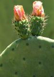 Flores da pera espinhosa Fotografia de Stock Royalty Free