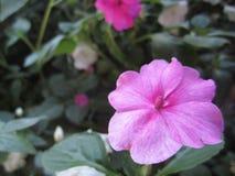 Flores da pervinca no jardim Imagem de Stock Royalty Free