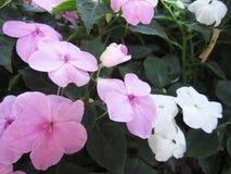 Flores da pervinca no jardim Imagens de Stock Royalty Free