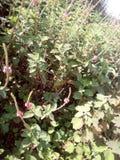 Flores da picareta fotos de stock