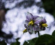 Flores da planta de batata Fotografia de Stock Royalty Free