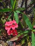 Flores da planta de christ imagem de stock
