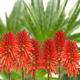 Flores da planta de vera do aloés Fotografia de Stock