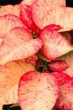 Flores da poinsétia com brácteas brilhantes Fotos de Stock Royalty Free