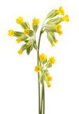 Flores da prímula Fotos de Stock Royalty Free