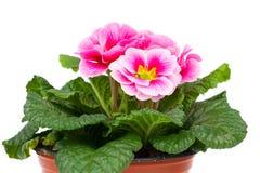 Flores da prímula Imagens de Stock