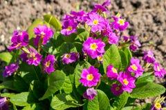 Flores da prímula da cor roxa foto de stock