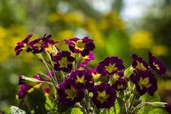 flores da pr?mula dos Vermelho-carmesins no jardim Flor brilhante da mola para camas de flor Conceito da mola, fundo foto de stock
