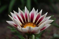 Flores da primavera em Canadá Imagens de Stock