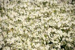 Flores da prímula do Fest da flor de Toowoomba Fotografia de Stock Royalty Free