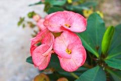 Flores da probabilidade de intercepção Sião Imagens de Stock Royalty Free