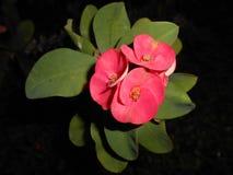 Flores da probabilidade de intercepção Sião fotografia de stock