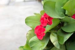 Flores da probabilidade de intercepção Sião Foto de Stock Royalty Free