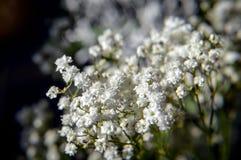 Flores da respiração do bebê Imagem de Stock