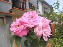 Flores da rosa do rosa Fotografia de Stock Royalty Free