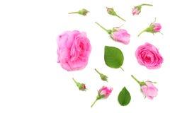 Flores da rosa do rosa isoladas no fundo branco Vista superior Fotografia de Stock Royalty Free