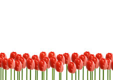 Flores da rosa do vermelho com fundo branco Imagem de Stock