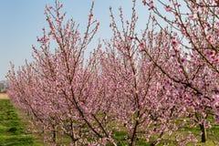 Flores da ?rvore de p?ssego fotografia de stock royalty free