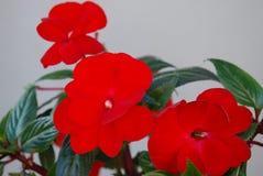 Flores da sala - bálsamo brilhantemente vermelho imagens de stock royalty free