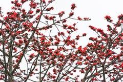 Flores da sumaúma Foto de Stock Royalty Free