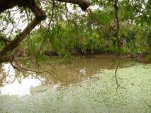 Flores da tampa da lentilha-d'água a lagoa da vila imagem de stock