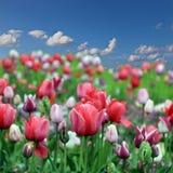 Flores da tulipa da mola Foto de Stock Royalty Free