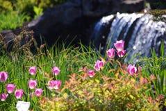 Flores da tulipa da mola Fotos de Stock Royalty Free