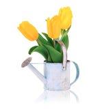 Flores da tulipa no branco Imagem de Stock