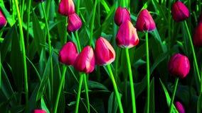 Flores da tulipa que florescem na mola video estoque